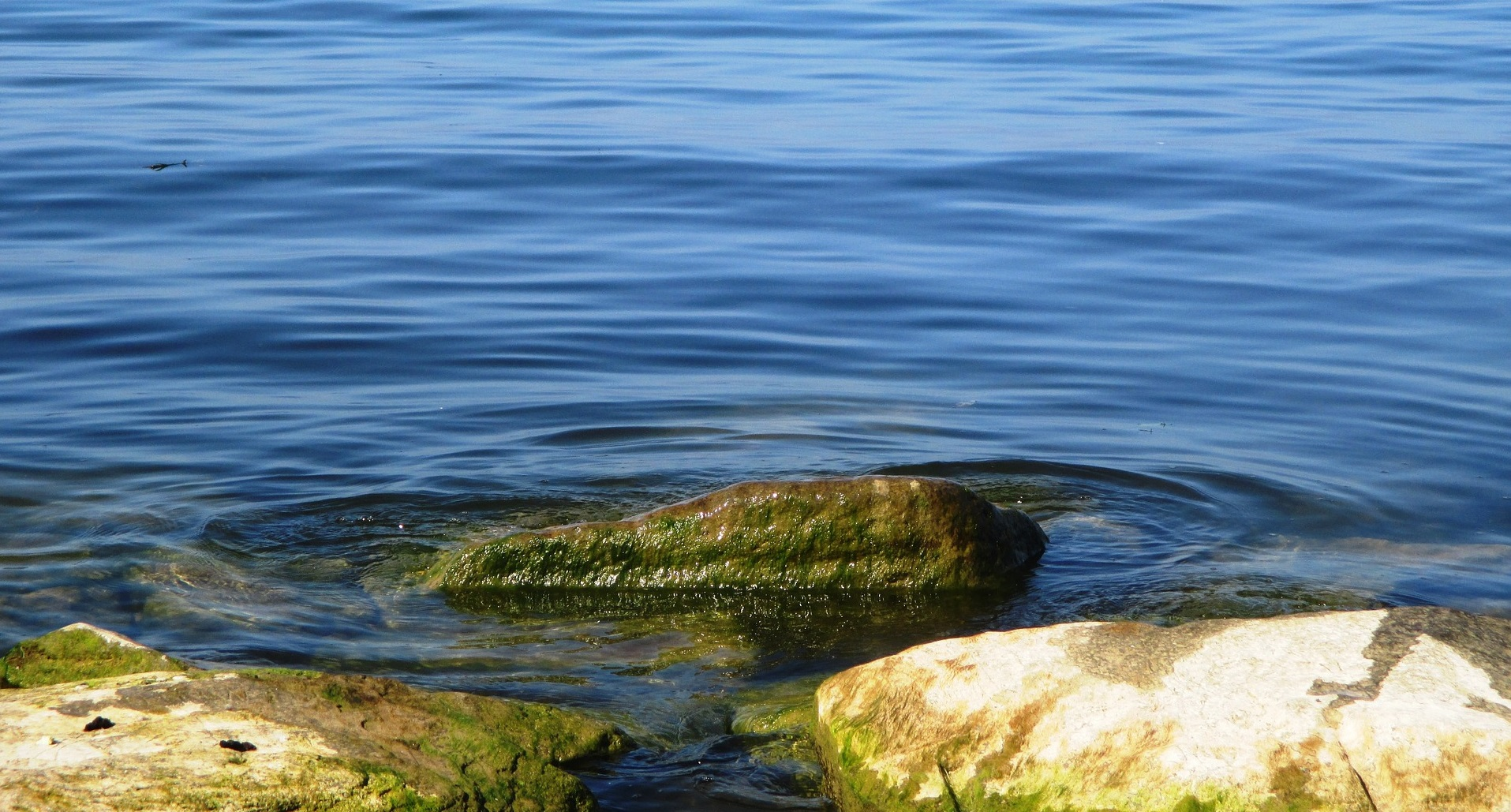 Pomembni sostanovalci morske alge Fucus vesiculosus